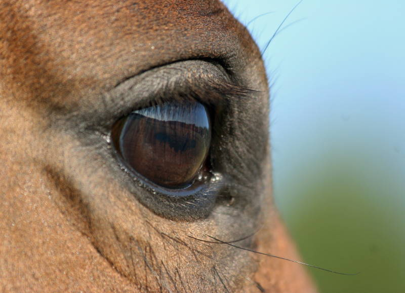 braunes Pferdeauge als Fotoausschnitt