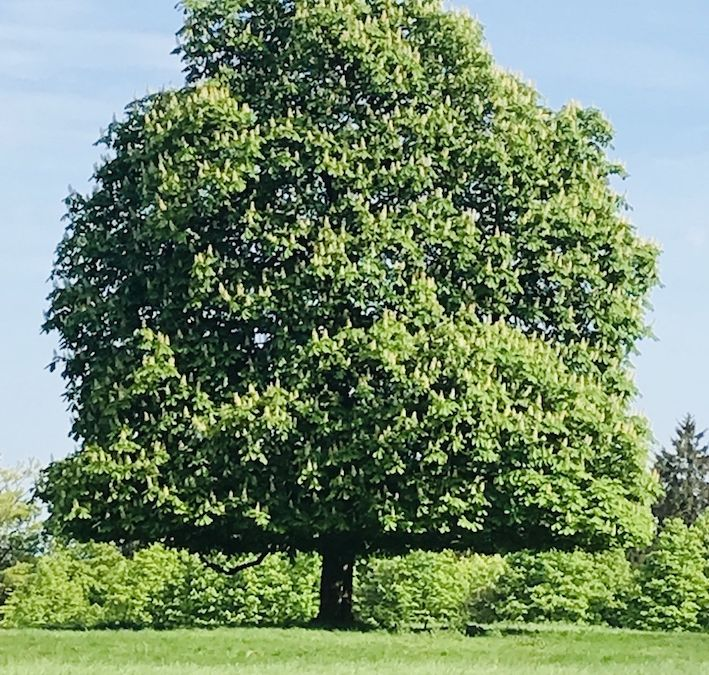 Kastanienbaum auf Wiese