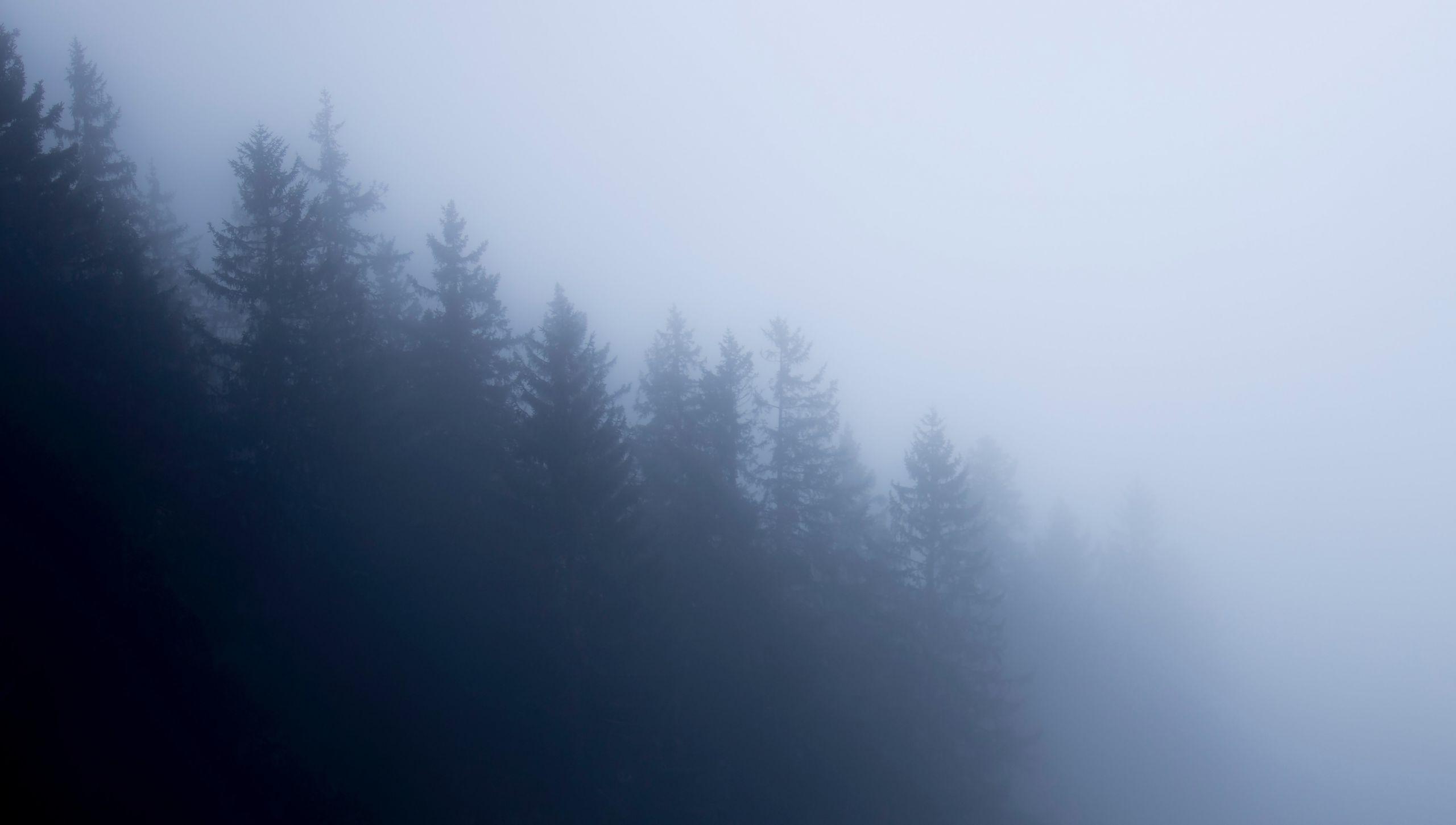Tannen im Nebel
